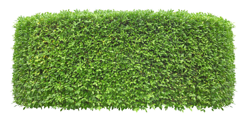 在外部和庭院设计的白色背景隔绝的被整理的绿色树篱墙壁 免版税库存照片