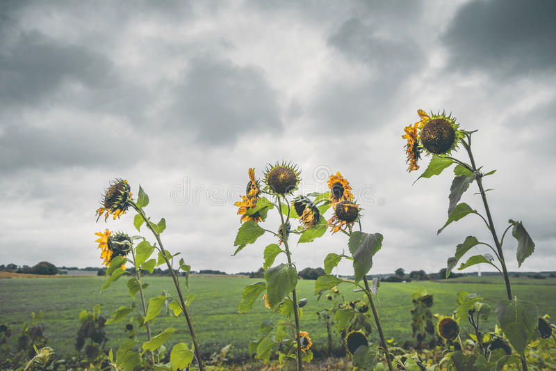 在多云天气的凋枯的向日葵 库存图片