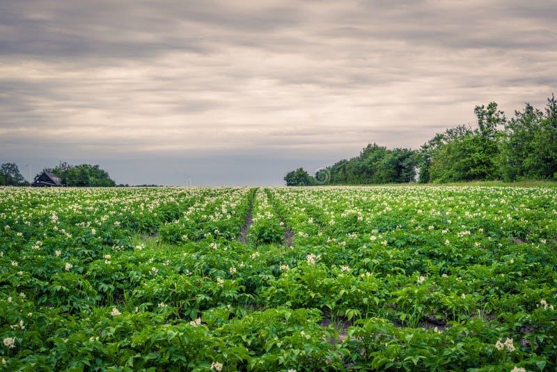 在多云天气的土豆领域 库存图片