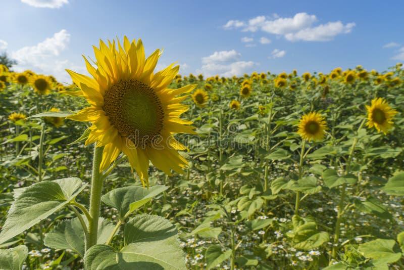 在多云蓝天和明亮的太阳光的向日葵领域 免版税库存照片