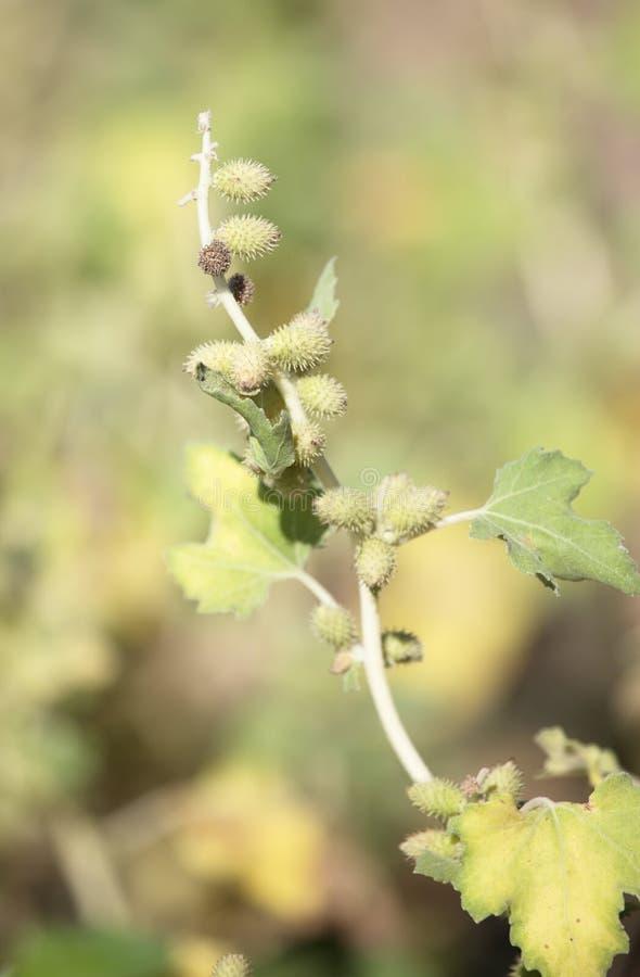 在多刺的植物的种子 免版税库存照片