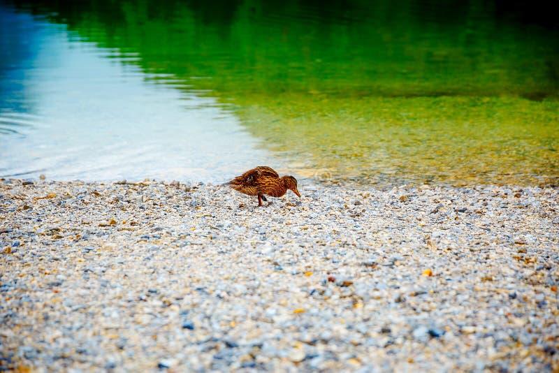 在多岩石的海滩的野鸭早晨 免版税库存照片