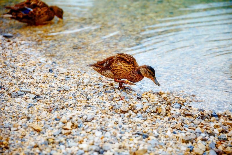 在多岩石的海滩的野鸭早晨 库存照片