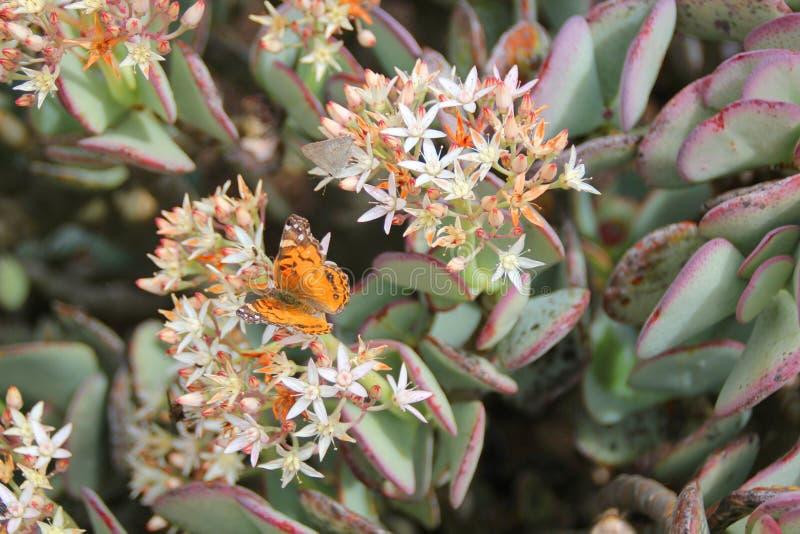 在多汁植物的蝴蝶 库存图片