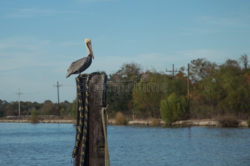 在多沼泽的支流的鹈鹕 免版税库存照片