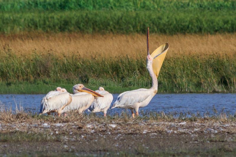 在多瑙河三角洲的白色鹈鹕,罗马尼亚 免版税图库摄影