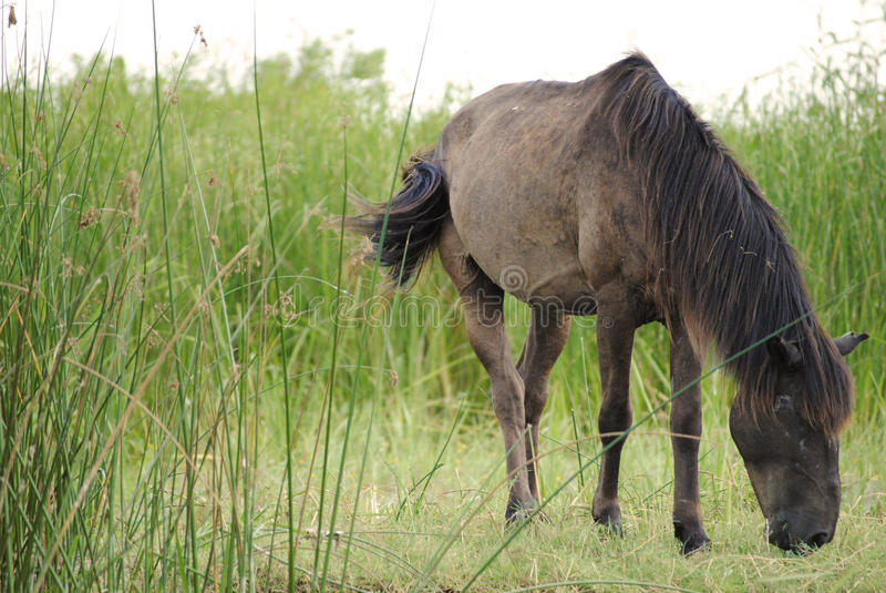 在多瑙河三角洲的马 免版税库存图片