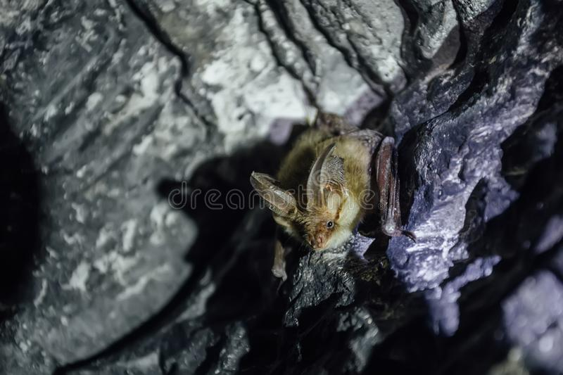 在多白粉洞的布朗共同的长耳的球棒Plecotus auritus 库存照片