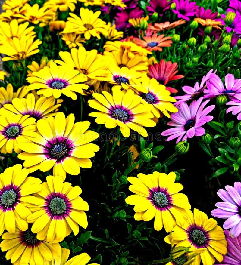 在多种颜色,黄色,桃红色,紫色的格伯雏菊 库存照片