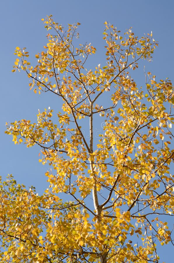 在多色的叶子盖的桦树在秋天 免版税库存图片