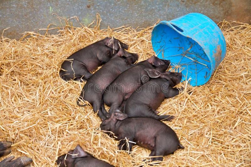 在多西特县展示的小猪 库存照片