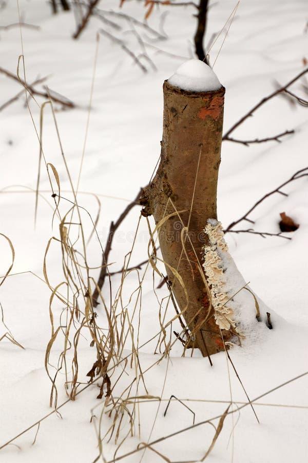 在多雪森林的地板的真菌大批出没残余部分 免版税图库摄影