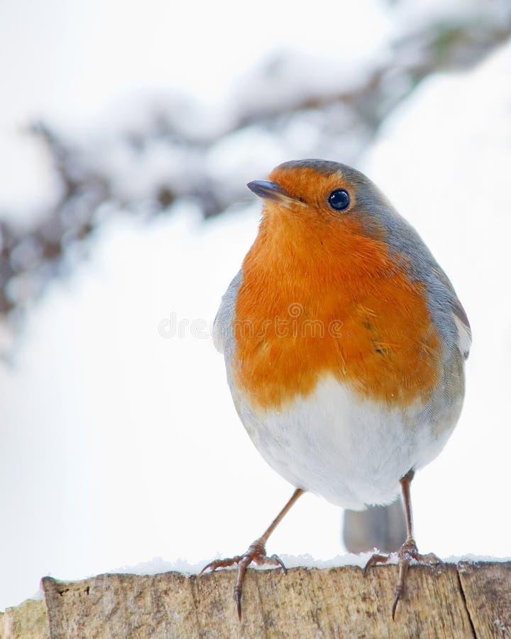 在多雪的天气的罗宾 免版税库存图片
