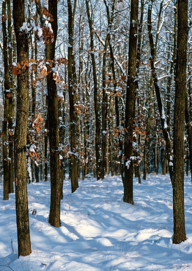 在多雪的森林中间 免版税库存照片