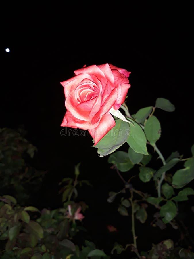 在夜令人敬畏的视图的美妙的花 库存照片