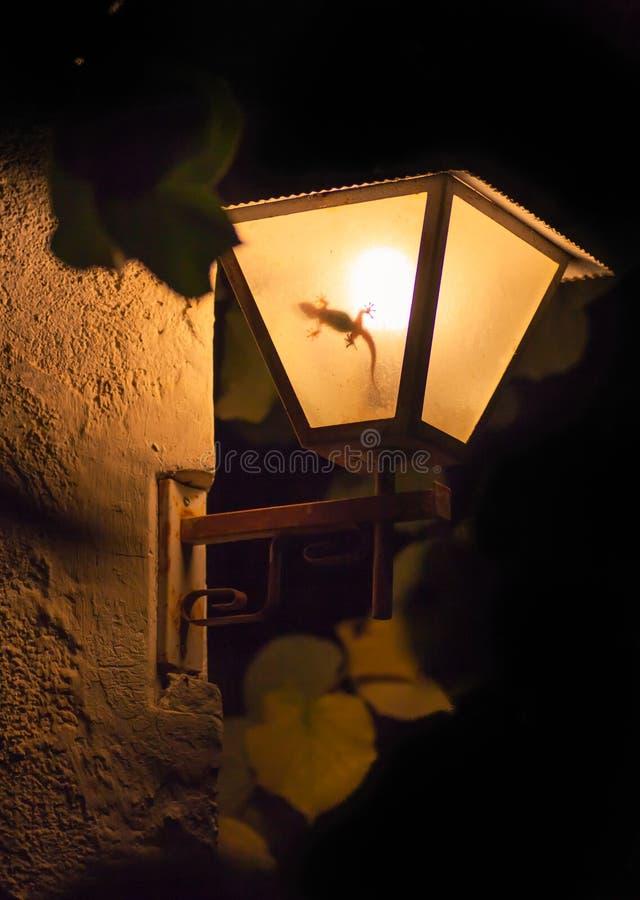 在夜庭院灯笼的摩尔人壁虎 图库摄影