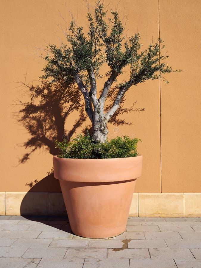在大农场主罐的装饰橄榄树 免版税图库摄影