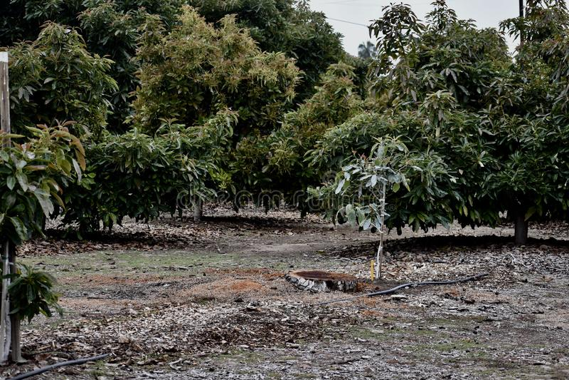 在大农场的成熟树围拢的一棵年轻鳄梨树 免版税库存照片