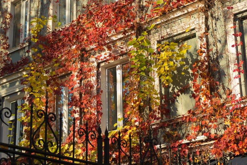 在大厦的明亮的秋天常春藤在窗口附近在阳光下 免版税库存照片