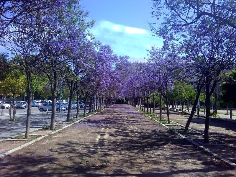 在大学附近的步行,紫罗兰色的叶子 库存照片