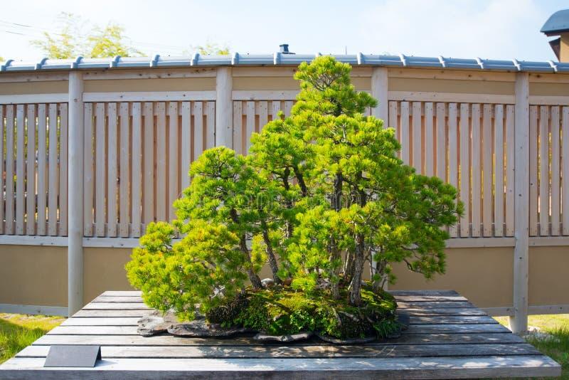 在大宫盆景villege的日本美国五针松盆景树 图库摄影