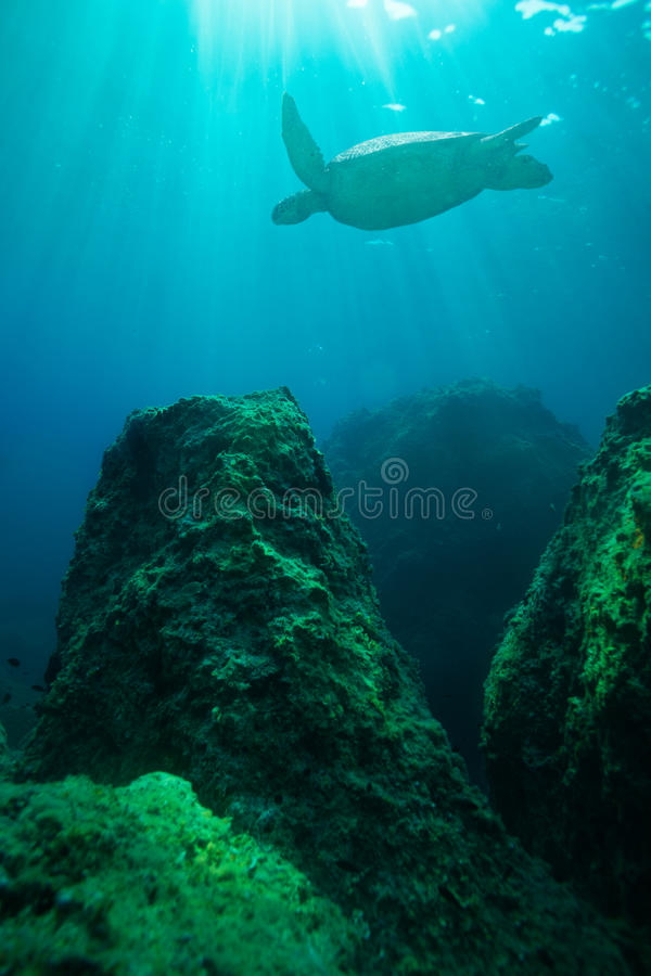 在大岩石之中的乌龟游泳 图库摄影