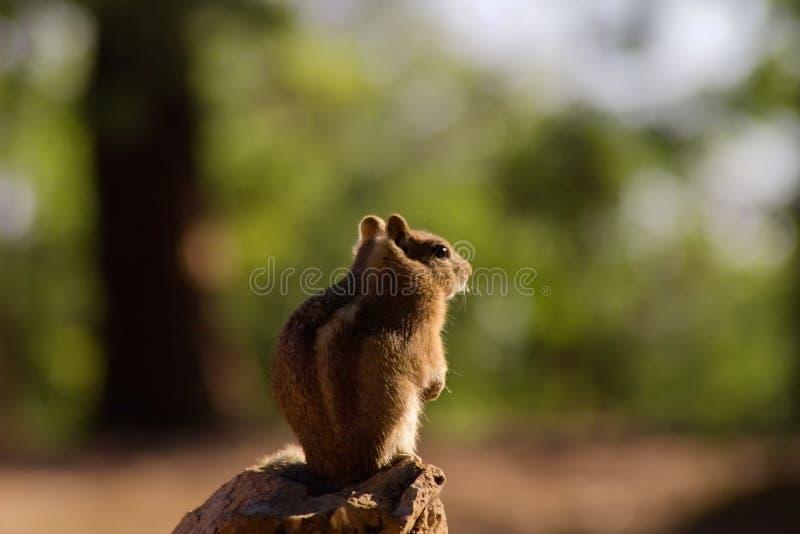 在大峡谷北部外缘的灰鼠 图库摄影
