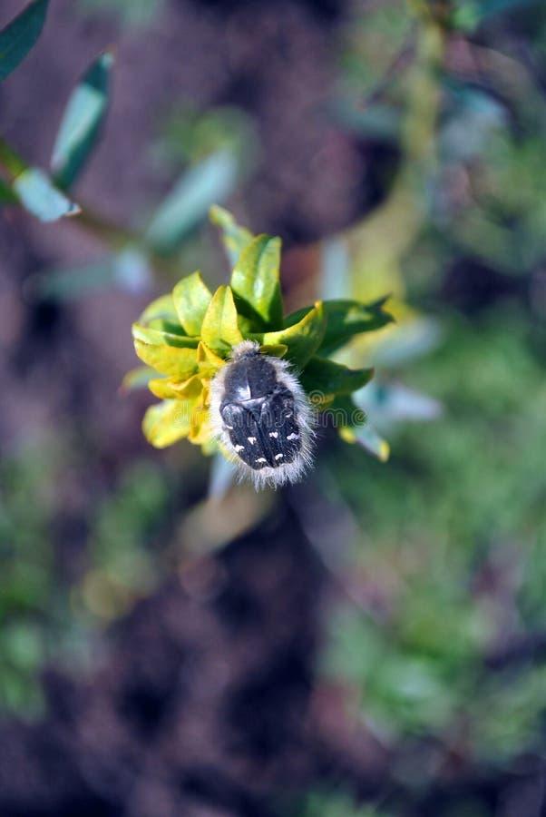 在大戟属esula绿色或叶茂盛spurge开花的花的小长毛的Tropinota hirta臭虫关闭宏观细节 免版税库存照片