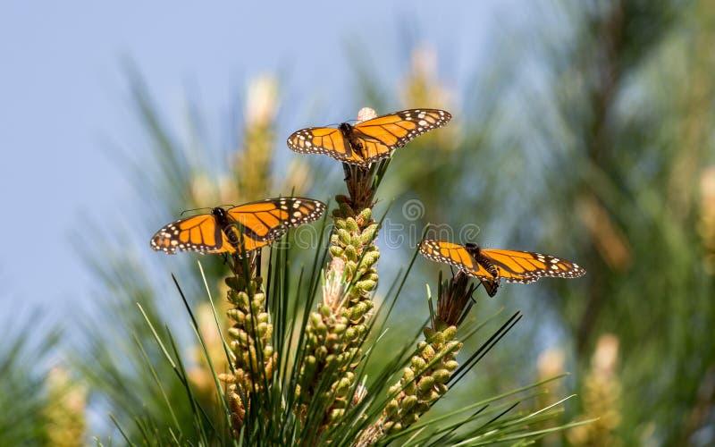 在大果柏木树栖息的黑脉金斑蝶 免版税库存照片