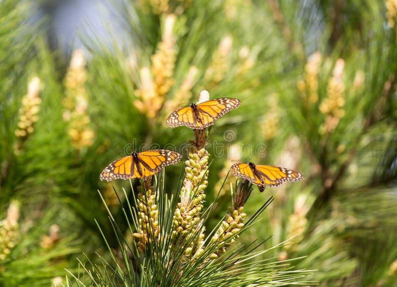 在大果柏木树栖息的黑脉金斑蝶 库存图片