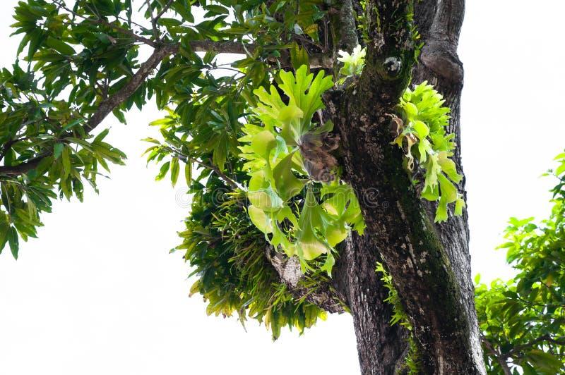 在大树的新月鱼铈superbum,蕨自然的绿色staghorn蕨种类 库存图片