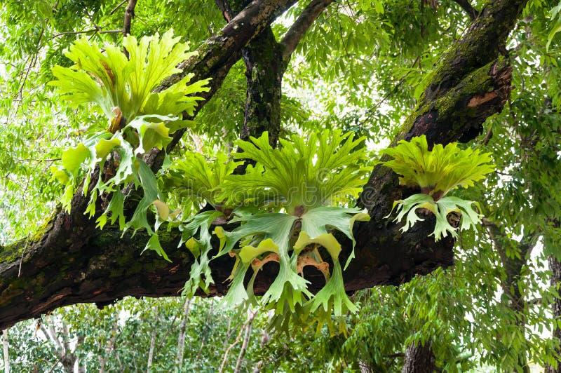 在大树的新月鱼铈superbum,蕨自然的绿色staghorn蕨种类 免版税库存图片