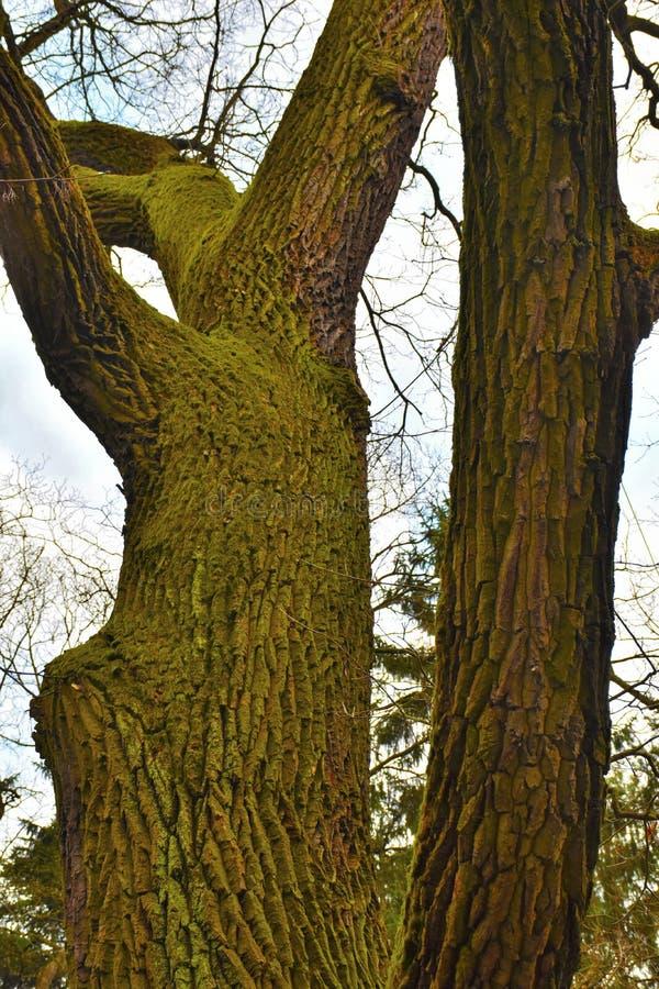 在大树的青苔 免版税库存照片