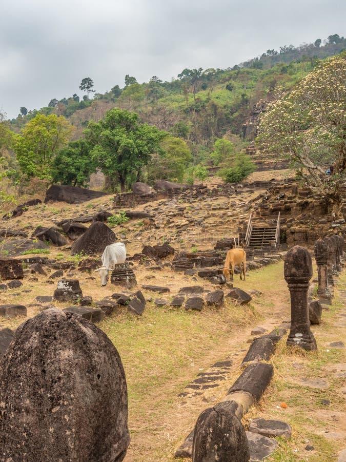 在大桶Phou废墟的牛 占巴塞省,老挝 库存图片