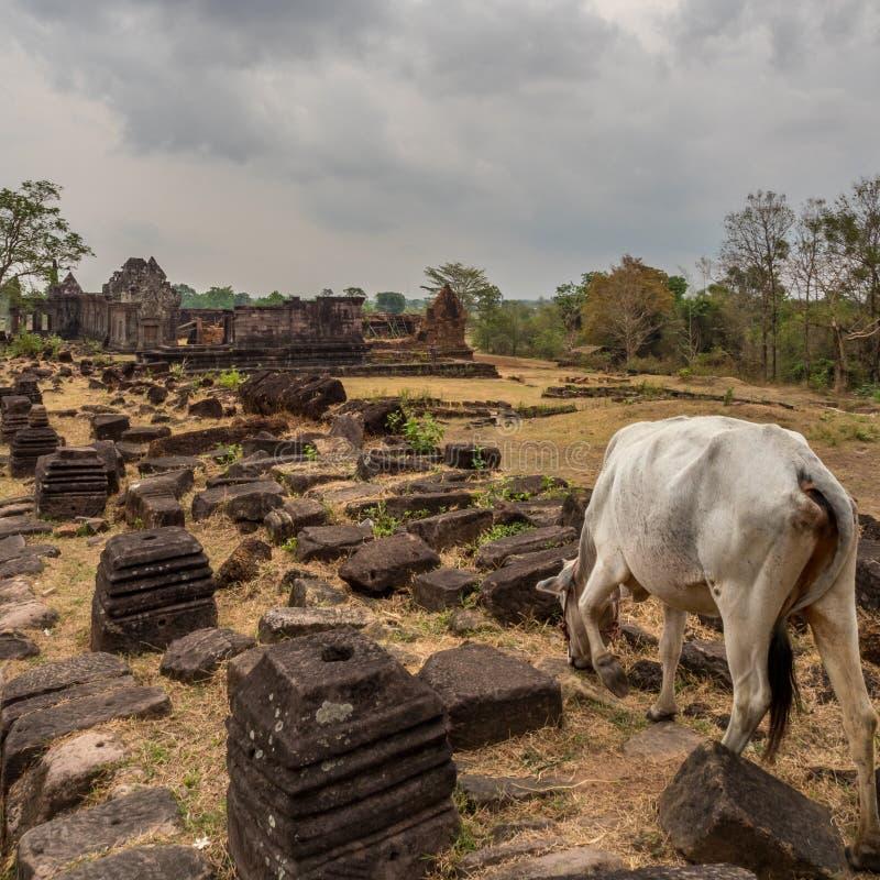 在大桶Phou废墟的牛 占巴塞省,老挝 库存照片