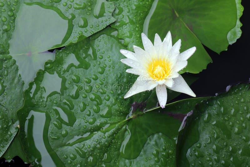 在大气的白莲教开花在雨,白莲教浮游物在水面和叶子绿色新鲜美丽以后 免版税库存照片