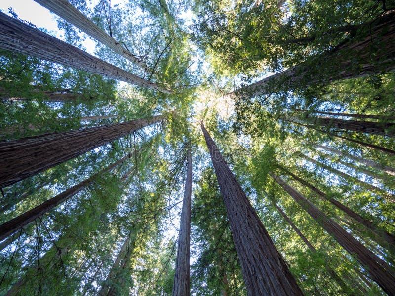 在大水池,加利福尼亚的和平的红木 图库摄影