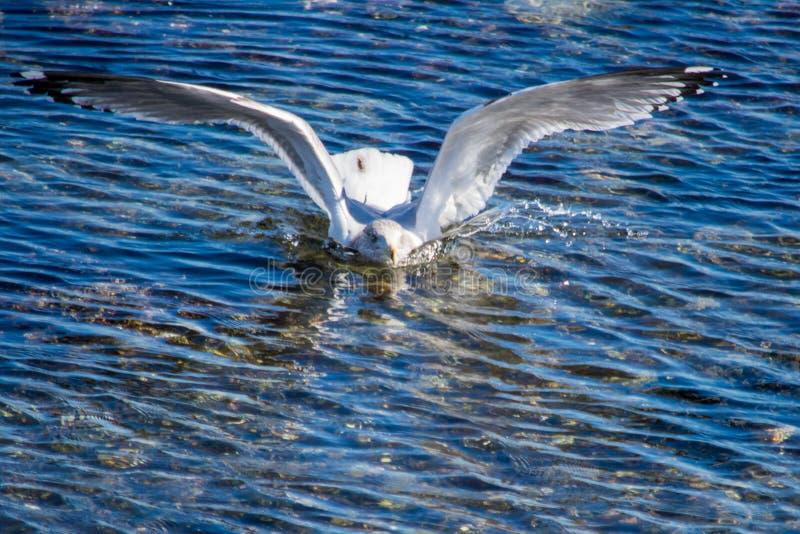 在大海的一次海鸥着陆 免版税库存图片