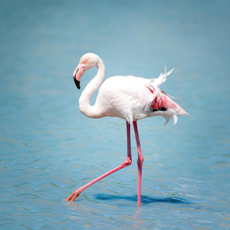 在大海的桃红色火鸟在好日子 免版税图库摄影