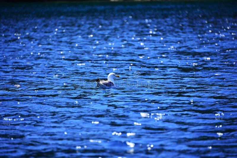 在大海的美丽的海鸥,在水的唯一鸟 免版税图库摄影