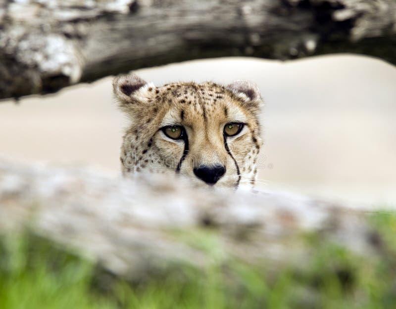 在大猫猎豹男结构树之后的成人非洲&# 免版税库存照片