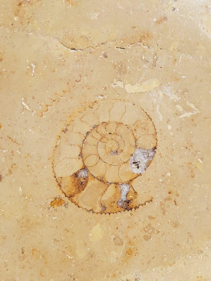 在大理石块背景中困住的化石蜗牛壳 免版税图库摄影
