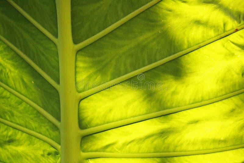 在大绿色叶子后的阳光 库存图片