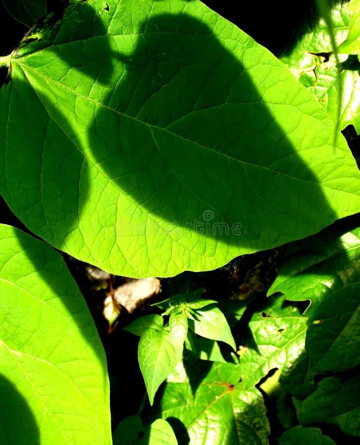 在大绿色叶子的三个阴影 图库摄影
