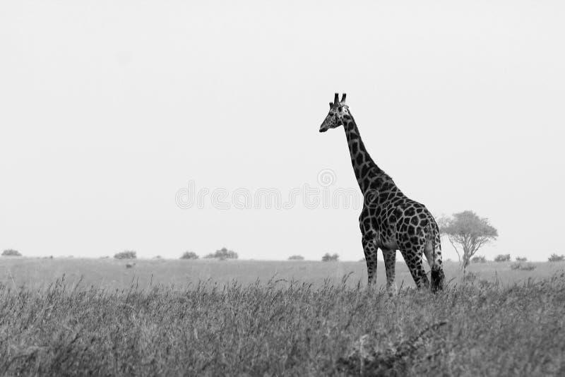 在大草原平原的一个巨型的长颈鹿长颈鹿身分 免版税库存照片