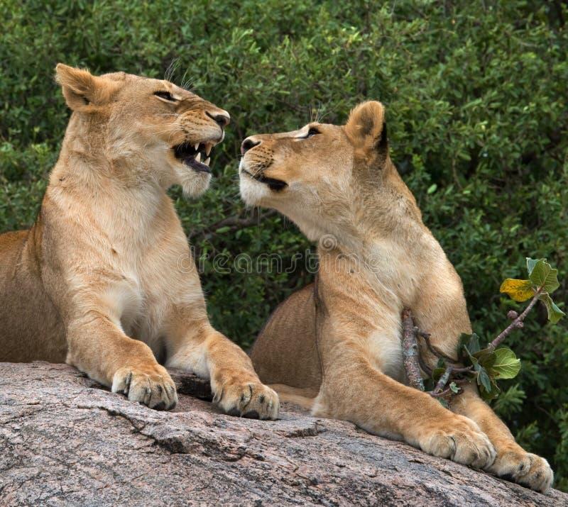 在大草原的两只雌狮 国家公园 肯尼亚 坦桑尼亚 mara马塞语 serengeti 库存照片