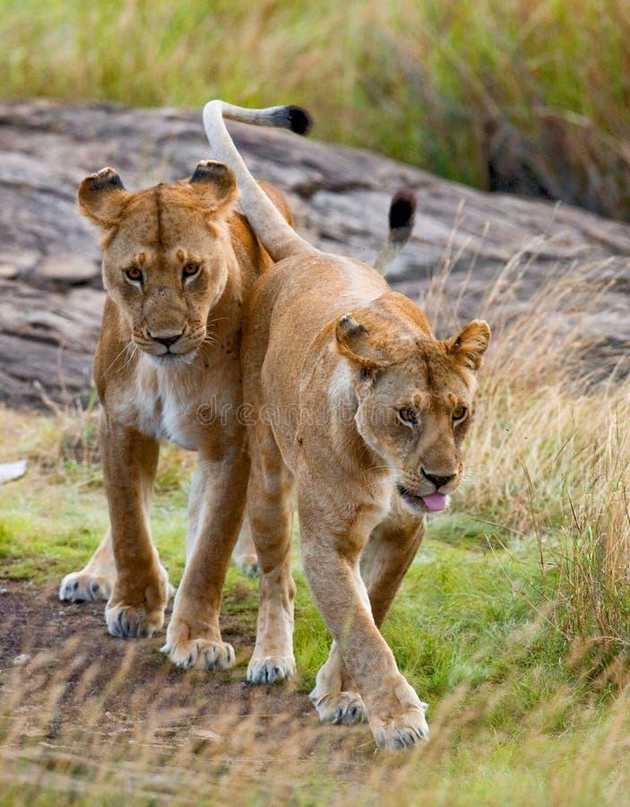 在大草原的两只雌狮 国家公园 肯尼亚 坦桑尼亚 mara马塞语 serengeti 免版税库存图片