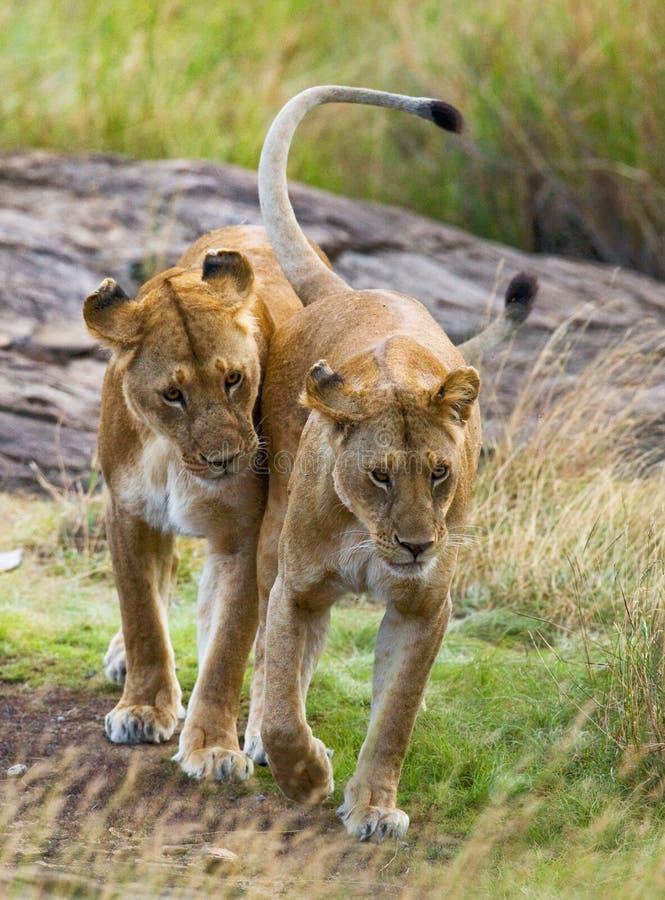 在大草原的两只雌狮 国家公园 肯尼亚 坦桑尼亚 mara马塞语 serengeti 库存图片
