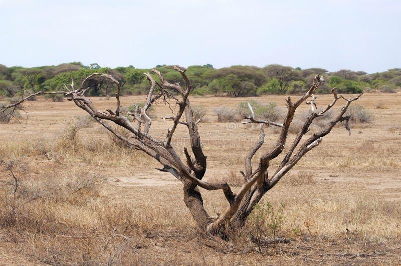 在大草原的树 免版税图库摄影