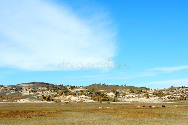 在大草原的母牛 免版税库存照片